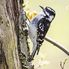 Downy Woodpecker Female-8429