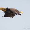 Bald Eagle w:fish-8558