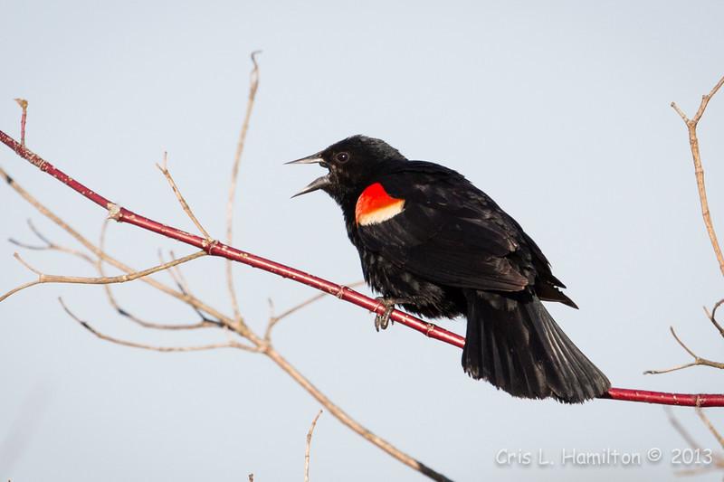 Red-Winged Blackbird-8064