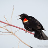 Red-Winged Blackbird-8064