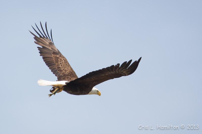 Bald Eagle w:fish-8551