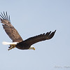Bald Eagle w:fish-8551