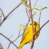 Yellow Warbler-8090