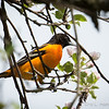Baltimore Oriole-8324