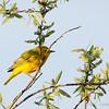 Yellow Warbler-8086