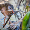 Virginia Rail nest building-8130