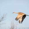 Sandhill Crane-8031