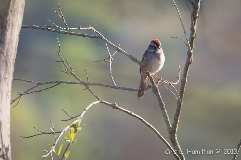 Chipping Sparrow-8047