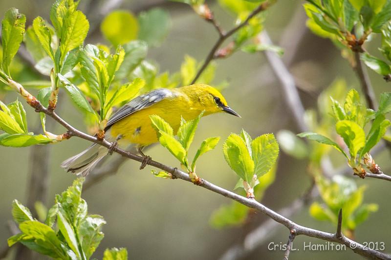 Blue-winged Warbler-8760