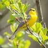 Blue-winged Warbler-8750