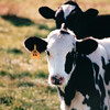 Cow - Lancaster County, PA  10-20-98