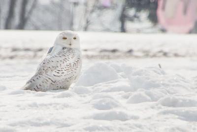 Snowy Owl-7226