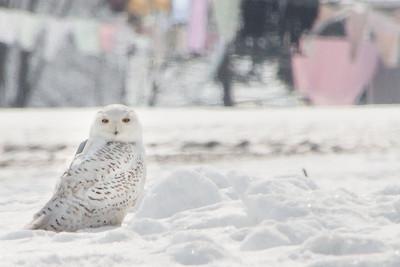 Snowy Owl-7228