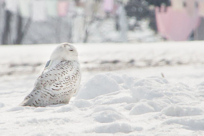 Snowy Owl-7224