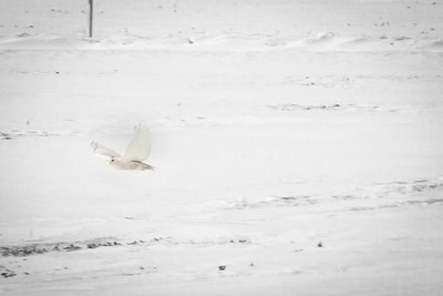 Snowy Owl-7151