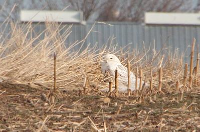 PA-Lancaster-Snowy Owl