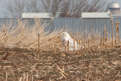 The snowy owl sits in a Lancaster farm field waiting for wildlife photographers to spot it.