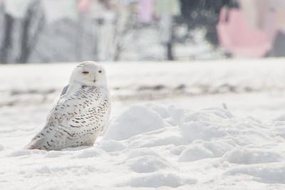 Snowy Owl-7222