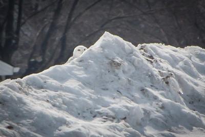 Snowy Owl-7270