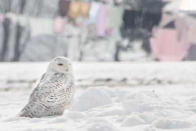 Snowy Owl-7203
