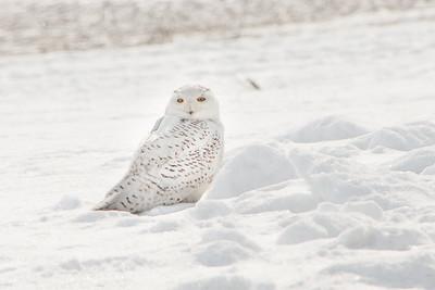 Snowy Owl-7246