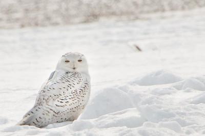 Snowy Owl-7236