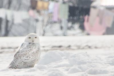 Snowy Owl-7207