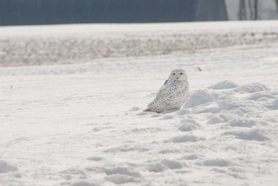 Snowy Owl-7245
