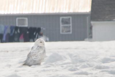 Snowy Owl-7192