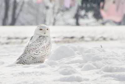 Snowy Owl-7233