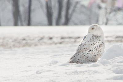 Snowy Owl-7230