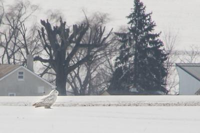 Snowy Owl-7181