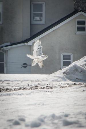 Snowy Owl-7268