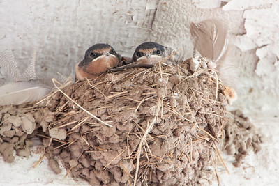 Barn Swallow-7438
