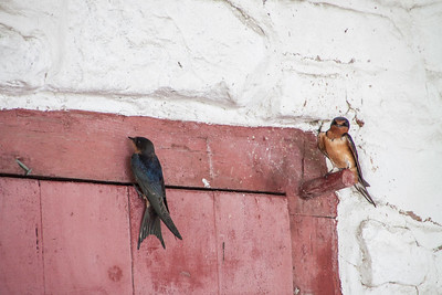 Barn Swallow-7302
