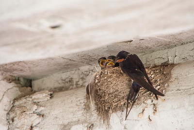 Barn Swallow-7326