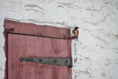 Barn Swallow-7299