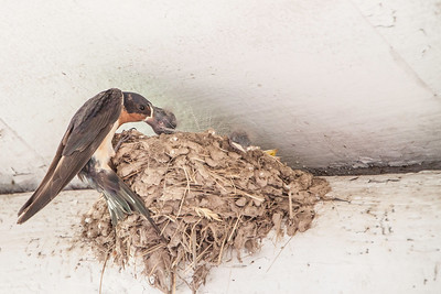 Barn Swallow-7501