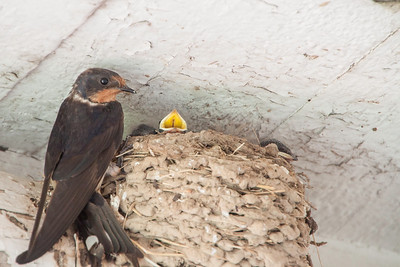 Barn Swallow-7374