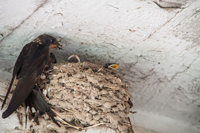 Barn Swallow-7369