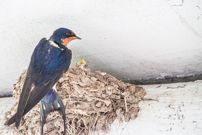 Barn Swallow-7483