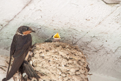 Barn Swallow-7383
