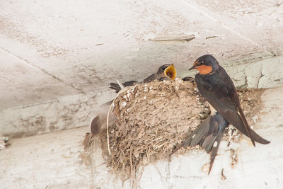 Barn Swallow-7433