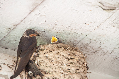 Barn Swallow-7381