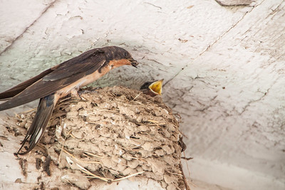Barn Swallow-7408
