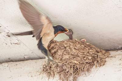 Barn Swallow-7491