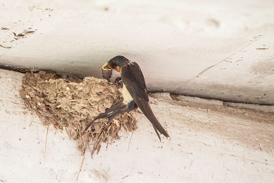 Barn Swallow-7453