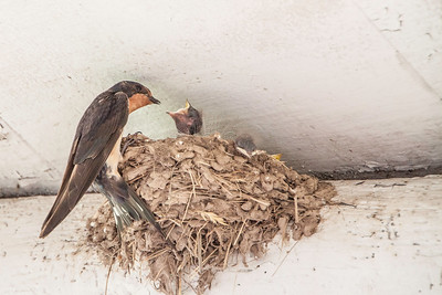 Barn Swallow-7502