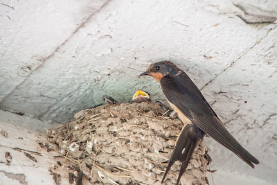 Barn Swallow-7427