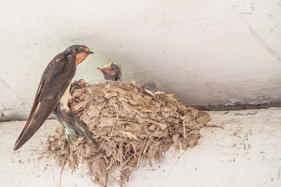 Barn Swallow-7503